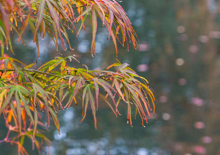 The leaves of an acer tree reach out over a pond