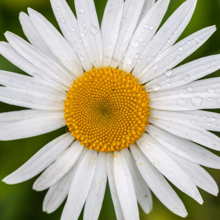 ox eye: A close-up of an ox eye daisy bloom