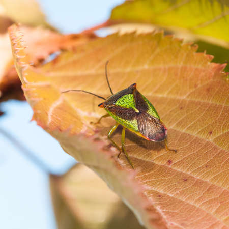 A shield bug sits on a cherry tree leaf  photo