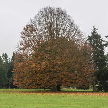 exbury: A large tree loses its autumn foliage