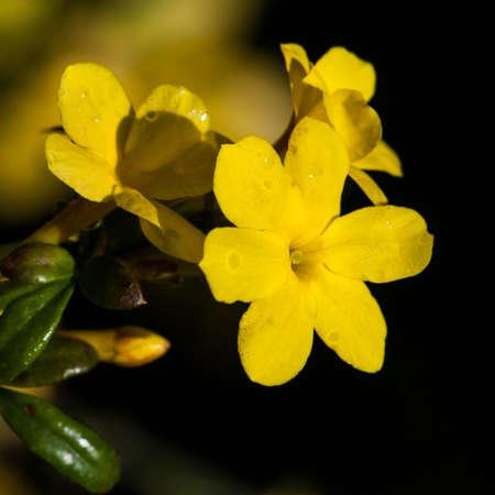 jasmine bush: The yellow bloom of a winter jasmine bush
