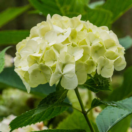 A close-up of a hydrangea bloom  Stock Photo