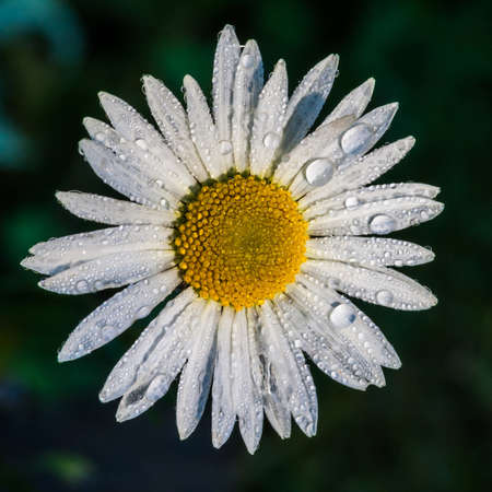 A close-up of an ox eye daisy covered in dewdrops  photo