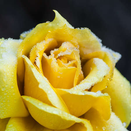 A close-up of a queen mother rose with ice crystals forming on the petals  photo