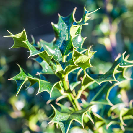 A close-up of a sprig of seasonal holly Stock Photo - 16688676