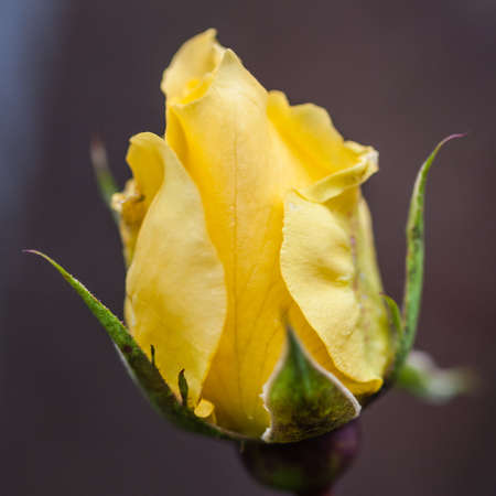 A yellow rose of variety Queen Mother  photo