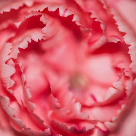 A macro shot of a pink carnation  photo