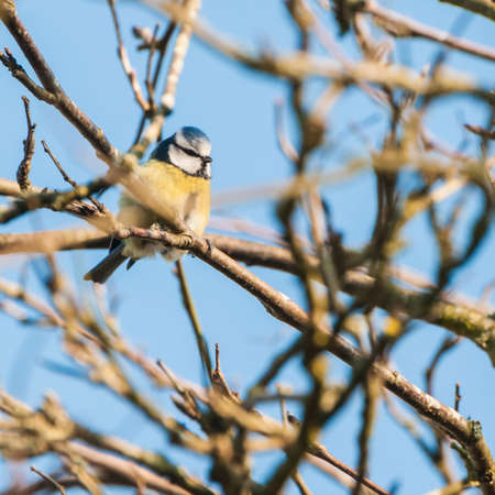 cyanistes: A small blue tit sits perched in a tree