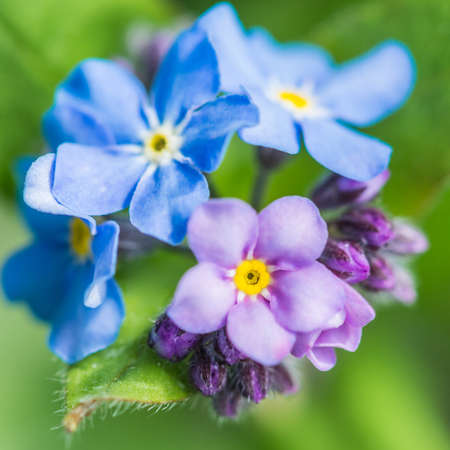 A collection of small forget me not blooms  photo
