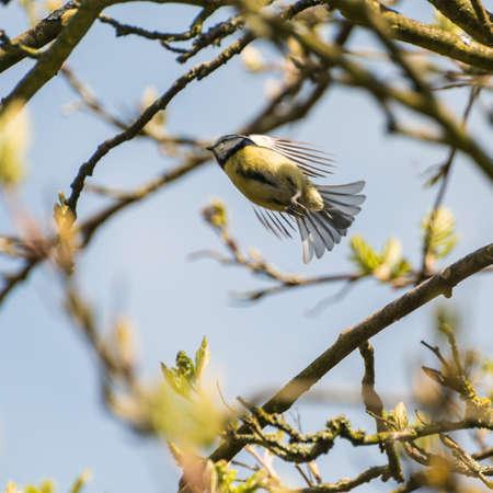 caeruleus: A blue tit flies away from its perch. Stock Photo