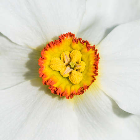 innards: The innards of a small daffodil trumpet.