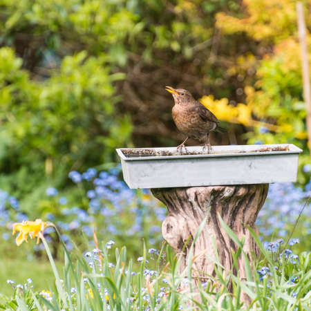 A female blackbid takes a drink at a bird bath. photo
