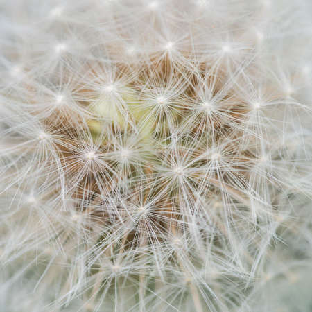 A macro shot of the seed head of a dandelion. photo