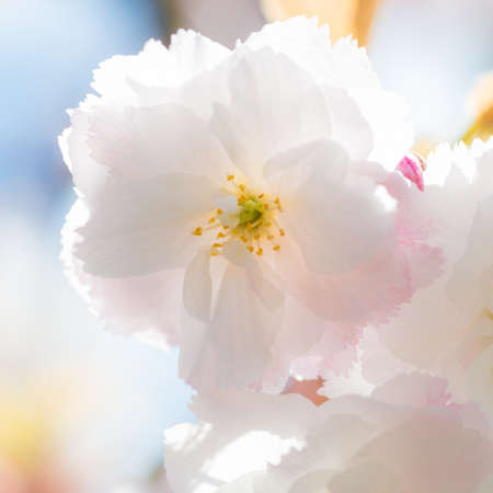 A macro shot of the white blossom from a cherry tree. Stock Photo