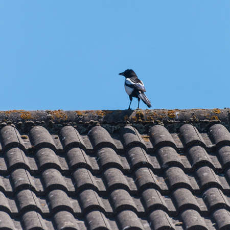 A magpie sits on a roof top.