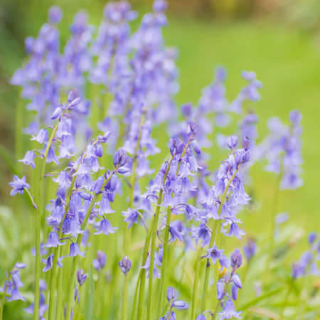 A collection of bluebell blooms in the corner of a garden.