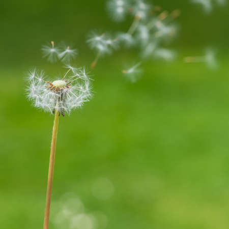 Dandelion seeds fly away from the dandelion clock  photo