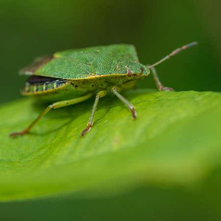 green shield bug: A macro shot of a green shield bug sitting on a leaf  Stock Photo