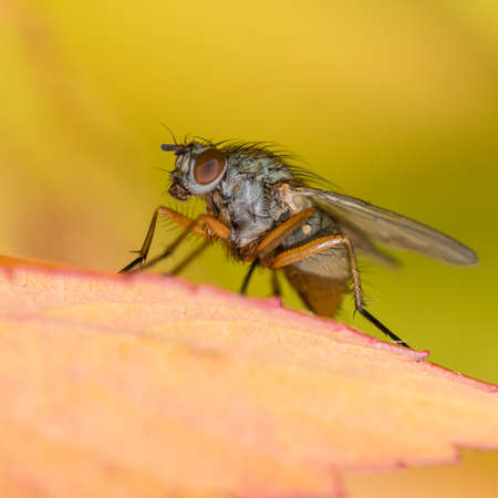 A fly sits amongst the leaves of a magic carpet bush  photo