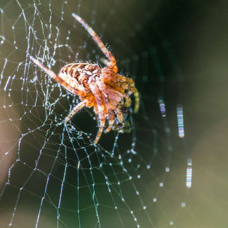 A macro shot of a garden spider sitting in its lair. photo