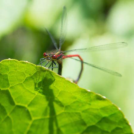 A macro shot of a mating damselfly. photo