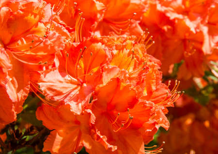The bright orange flowers of a rhododendron.