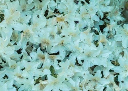 exbury: A wall of white azalea blooms.