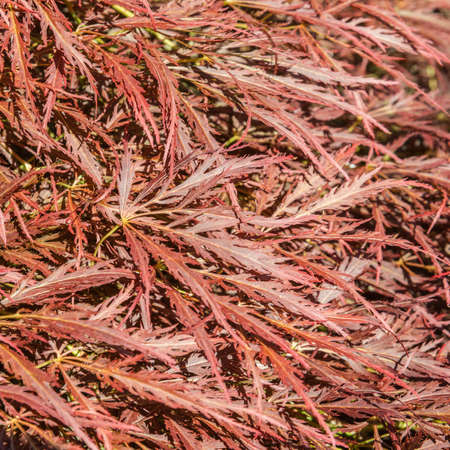 exbury: The abstract leaves of a japanese maple tree. Stock Photo