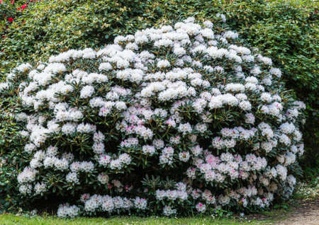 exbury: A shot of a large white rhododendron bush.