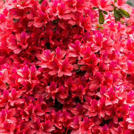 exbury: A wall of red rhododendron flowers. Stock Photo