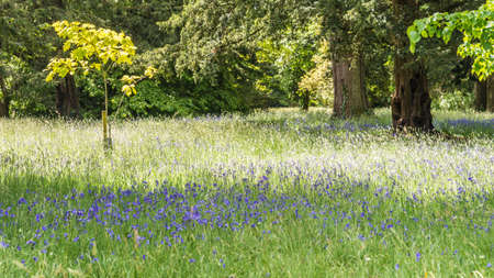 exbury: A shot  a carpet of bluebells in a wood  Stock Photo