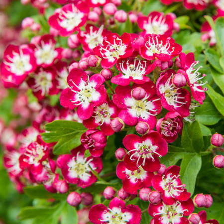 exbury: A macro shot of the pretty red blossom of a tree  Stock Photo