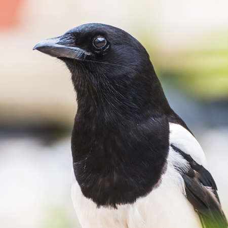 A close-up portrait shot of a young magpie  photo