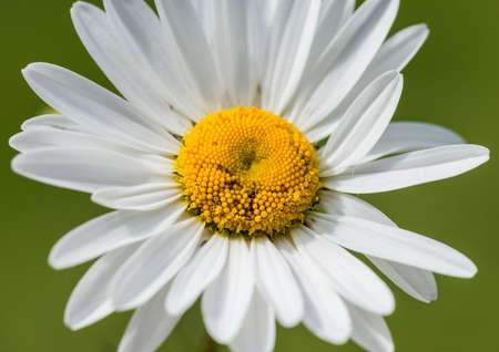 big daisy: A macro shot of an ox eye daisy.