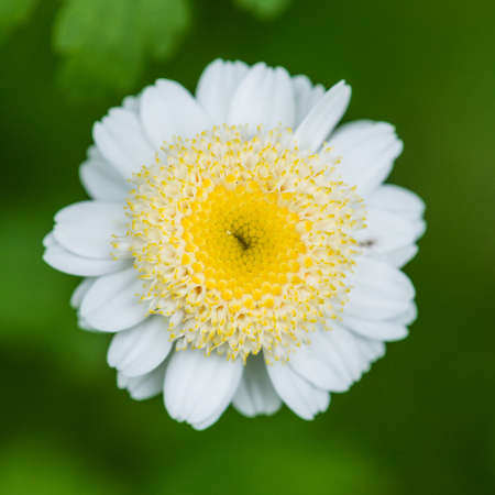 A macro shot of a single feverfew bloom.