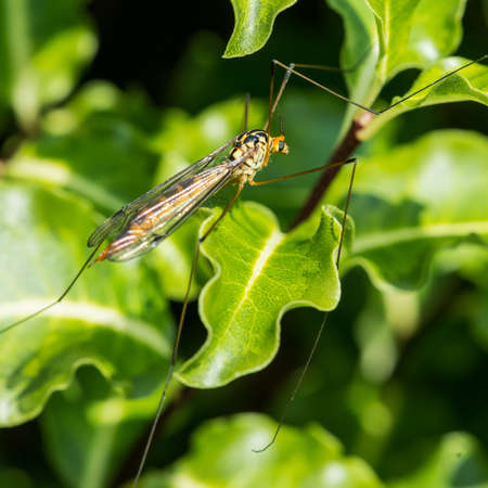 crane fly: A macro shot of a spotted crane fly. Stock Photo