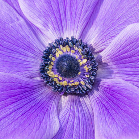 A macro shot of the centre of a Japanese anemone flower. photo