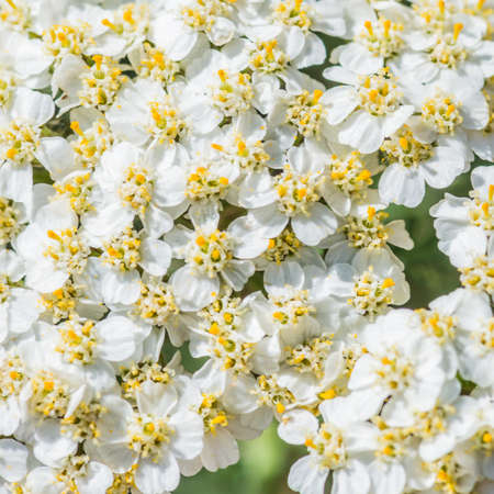 A macro shot of the white blossom of a yarrow plant. photo
