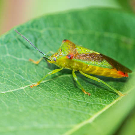 green shield bug: A macro shot of a green shield bug sitting on a green leaf.