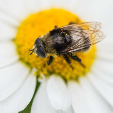 Bir öküz gözü papatya üzerinde oturan bir arı taklit bir sinek bir makro çekim. Stock Photo