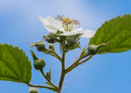 bramble: A macro shot of a white bramble flower shot against a blue sky. Stock Photo