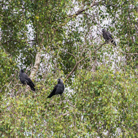 A family of jackdaws sit in a tree. photo