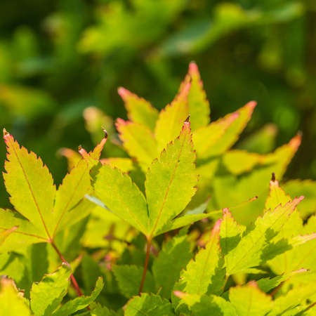 acer: A macro shot of the leaves of an acer tree. Stock Photo