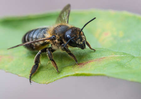 A macro shot of a leaf cutter bee
