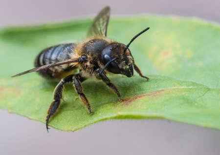 leaf cutter: A macro shot of a leaf cutter bee