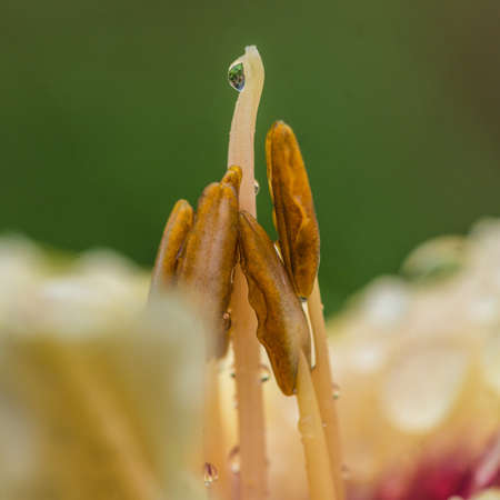 A macro shot of the stamen and stigma inside a daylily  photo