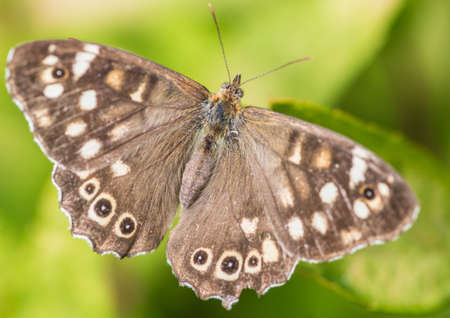 speckled wood: A macro shot of a speckled wood butterfly sitting on a green leaf.