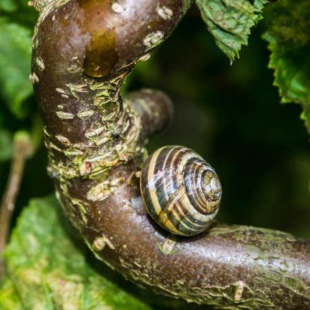 albero nocciola: Un colpo di macro di una lumaca sul ramo di un albero di nocciolo cavatappi