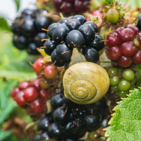 devouring: A macro shot of a snail devouring a bramble fruit  Stock Photo