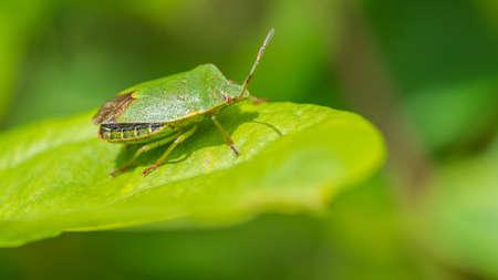 green shield bug: A macro shot of a green shield bug sitting on a leaf. Stock Photo